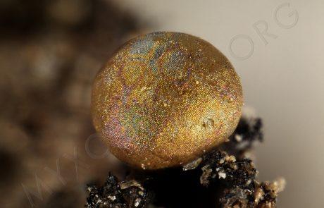 CALOMYXA-metallica-20398lado