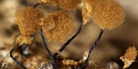 HEMITRICHIA-calyculata