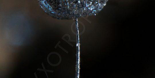 LAMPRODERMA-scintillans-22234