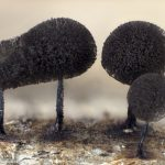 Collaria nigricapillitia