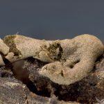 Dianema mongolicum