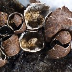 Diderma antarcticum