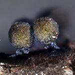 Lamproderma andinum