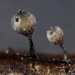 Lamproderma echinosporum