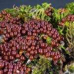Leocarpus fragilis
