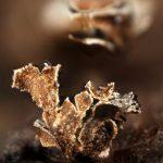 Lepidoderma peyerimhoffii