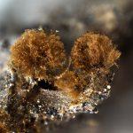 Prototrichia metallica