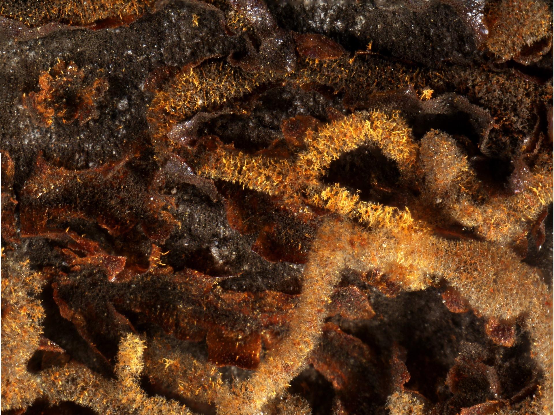 Willkommlangea reticulata