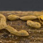 Perichaena patagonica