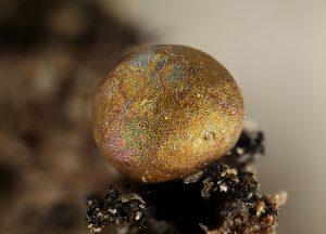 CALOMYXA metallica