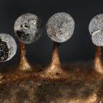 Craterium dictyosporum