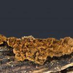 Dianema subretisporum