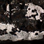 Diderma acanthosporum