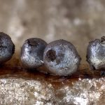 Lamproderma argenteobrunneum