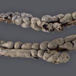 Lepidoderma chailletii